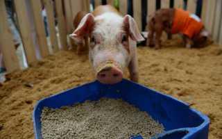 Суточная норма комбикорма для свиней